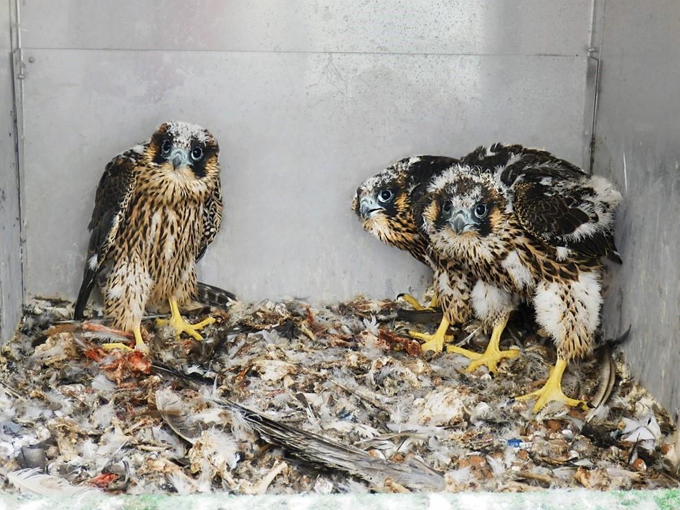 První sokolí trojčata na komíně ŠKO-ENERGO, rok 2015